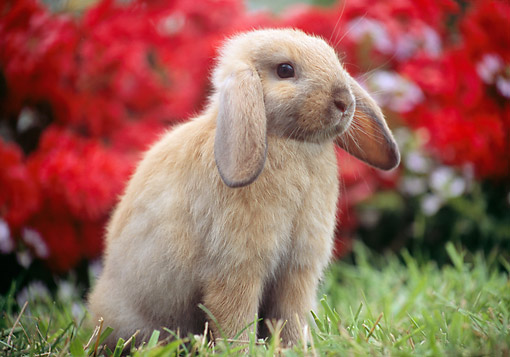 RAB 01 GR0352 01 © Kimball Stock Domestic Mini Lop Rabbit Sitting In Grass In Garden