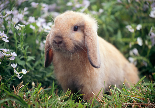 RAB 01 GR0353 01 © Kimball Stock Domestic Mini Lop Rabbit Sitting In Grass In Garden