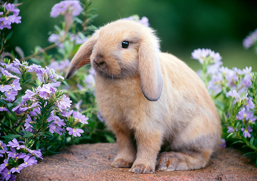 RAB 01 GR0354 01 © Kimball Stock Domestic Mini Lop Rabbit Sitting On Rock In Garden