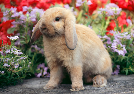 RAB 01 GR0355 01 © Kimball Stock Domestic Mini Lop Rabbit Sitting On Stump In Garden