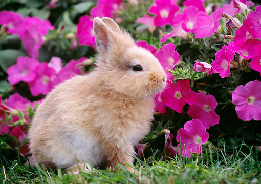 RAB 01 GR0358 01 © Kimball Stock Young Lionhead Rabbit Sitting On Grass By Pink Flowers