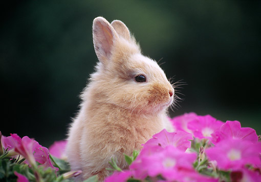 RAB 01 GR0359 01 © Kimball Stock Close-Up Of Young Lionhead Rabbit Sitting On Grass In Pink Flowers