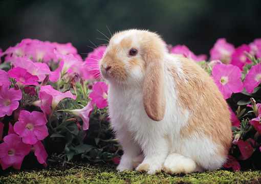 RAB 01 GR0360 01 © Kimball Stock Young Mini Lop Rabbit Sitting On Mossy Log By Pink Flowers