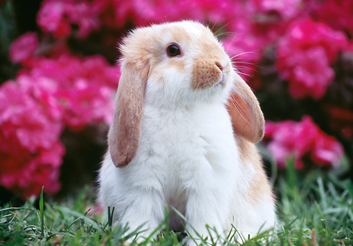 RAB 01 GR0361 01 © Kimball Stock Young Mini Lop Rabbit Sitting On Grass By Pink Flowers