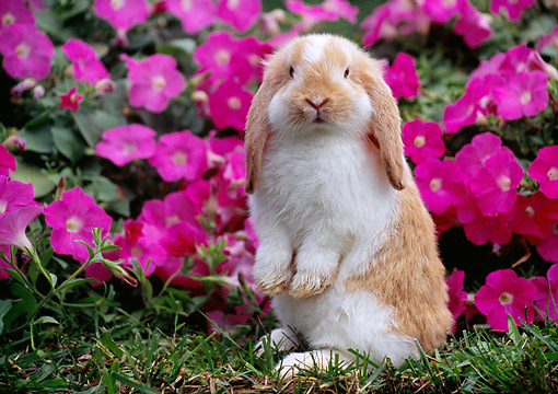 RAB 01 GR0362 01 © Kimball Stock Young Mini Lop Rabbit Sitting Upright On Grass By Pink Flowers