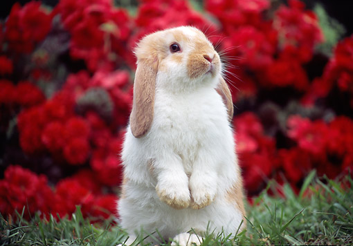 RAB 01 GR0363 01 © Kimball Stock Young Mini Lop Rabbit Sitting Upright On Grass By Red Flowers