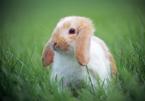 RAB 01 GR0364 01 © Kimball Stock Young Mini Lop Rabbit Sitting In Tall Grass