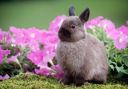 RAB 01 GR0368 01 © Kimball Stock Netherland Dwarf Rabbit Sitting On Mossy Log By Pink Flowers