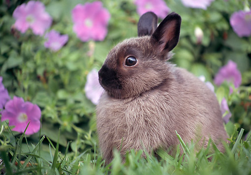 RAB 01 GR0369 01 © Kimball Stock Netherland Dwarf Rabbit Sitting On Grass By Pink Flowers