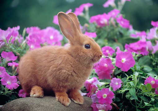 Invoice Estimate Rabbit  Animal Stock Photos  Kimballstock Fake Abortion Receipt Pdf with Rent Receipt Formats Pdf Rab  Gr   Kimball Stock Rex Rabbit Sitting On Rock By Pink Flowers Jeep Grand Cherokee Dealer Invoice Word