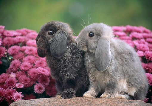 RAB 01 GR0371 01 © Kimball Stock Two Mini Lop Rabbits Sitting On Rock By Pink Flowers
