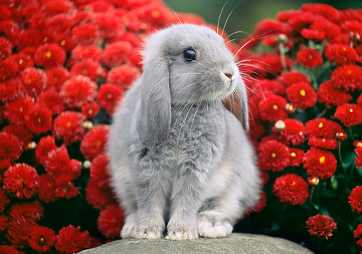 RAB 01 GR0374 01 © Kimball Stock Two Mini Lop Rabbit Sitting On Rock By Red Flowers