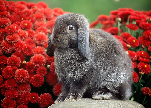 RAB 01 GR0375 01 © Kimball Stock Two Mini Lop Rabbit Sitting On Rock By Red Flowers