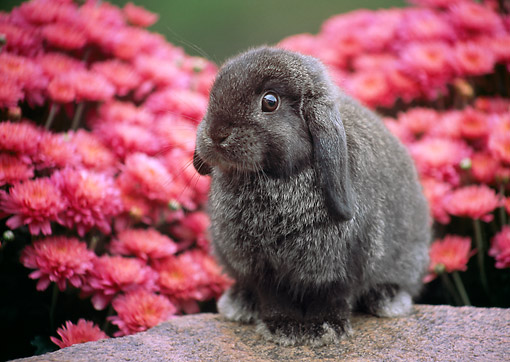 RAB 01 GR0376 01 © Kimball Stock Two Mini Lop Rabbit Sitting On Rock By Pink Flowers