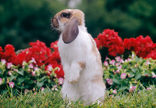 RAB 01 GR0382 01 © Kimball Stock Mini Lop Rabbit Perking Up And Sniffing About On Grass By Flowers