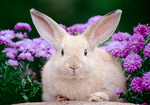 RAB 01 GR0390 01 © Kimball Stock Mixed Breed Rabbit Pouting In Flowers