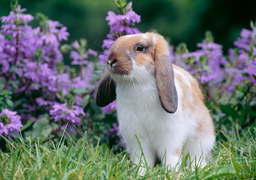 RAB 01 GR0391 01 © Kimball Stock Lop-Eared Bunny Sitting In Grass By Flowers