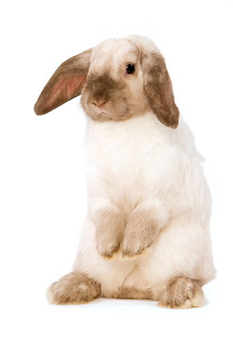 RAB 01 JE0001 01 © Kimball Stock Mini Lop Rabbit Sitting Up Seamless