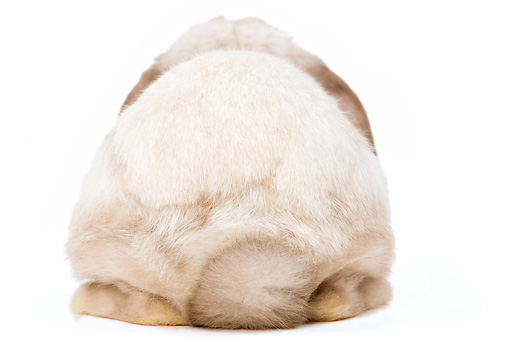 RAB 01 JE0004 01 © Kimball Stock Rear View Of Mini Lop Rabbit Sitting Seamless