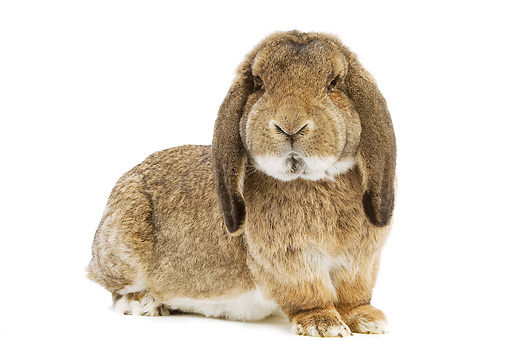 RAB 01 JE0007 01 © Kimball Stock Brown Lop Eared Rabbit Sitting On White Seamless