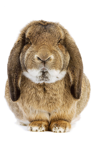 RAB 01 JE0008 01 © Kimball Stock Brown Lop Eared Rabbit Sitting On White Seamless