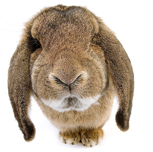 RAB 01 JE0009 01 © Kimball Stock Brown Lop Eared Rabbit Sitting On White Seamless