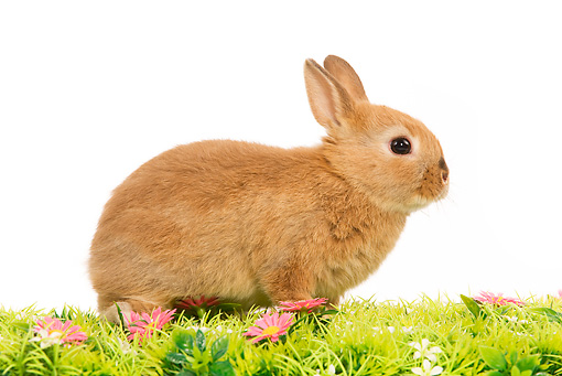 RAB 01 JE0015 01 © Kimball Stock Light Brown Domestic Rabbit Kit Sitting On Grass
