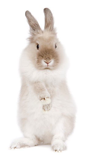 RAB 01 JE0017 01 © Kimball Stock Lionhead Dwarf Rabbit Standing On Hind Legs On White Seamless