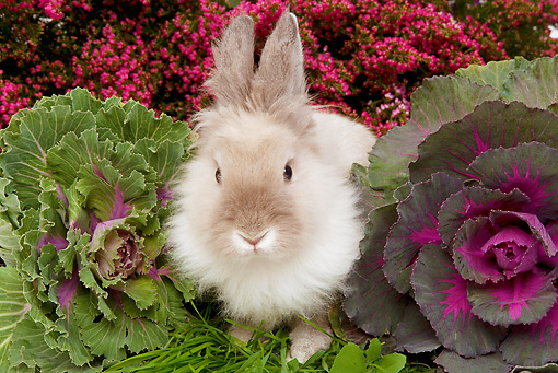RAB 01 JE0018 01 © Kimball Stock Lionhead Dwarf Rabbit Sitting On Grass By Cabbage And Pink Flowers