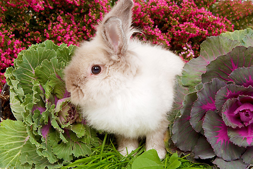 RAB 01 JE0019 01 © Kimball Stock Lionhead Dwarf Rabbit Sitting On Grass By Cabbage And Pink Flowers