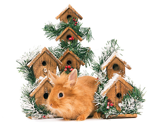 RAB 01 JE0029 01 © Kimball Stock Lionhead Rabbit Sitting By Holiday Birdhouses On White Seamless