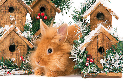 RAB 01 JE0030 01 © Kimball Stock Lionhead Rabbit Sitting By Holiday Birdhouses On White Seamless