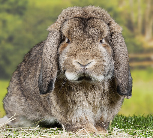 RAB 01 JE0035 01 © Kimball Stock Gray Warren Lop Rabbit Sitting On Grass And Hay