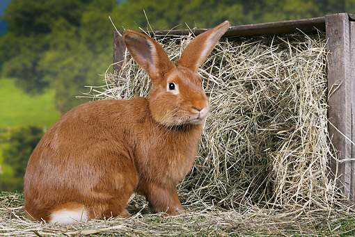 RAB 01 JE0037 01 © Kimball Stock Burgundy Fawn Rabbit Sitting By Box Of Hay