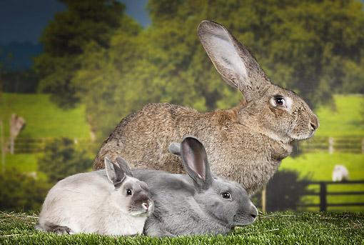 Flemish Giant Rabbit, Blue Beveren And Dwarf Rabbit Sitting