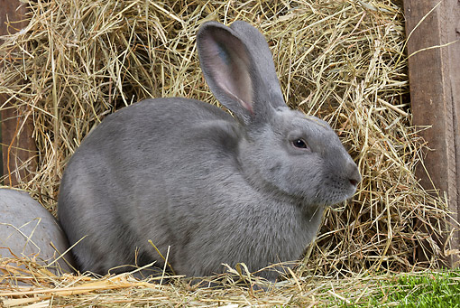 RAB 01 JE0040 01 © Kimball Stock Blue Beveren Rabbit Sitting By Box Of Hay
