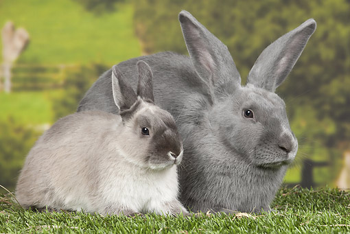 RAB 01 JE0041 01 © Kimball Stock Blue Beveren And Dwarf Rabbit Sitting On Grass