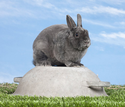 RAB 01 JE0042 01 © Kimball Stock Blue Rex Rabbit Sitting On Upside-Down Pot On Grass