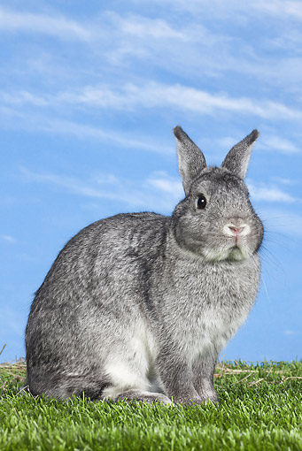 RAB 01 JE0045 01 © Kimball Stock Chinchilla Rabbit Sitting On Grass Against Blue Sky
