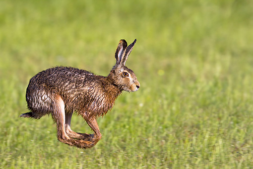RAB 01 KH0031 01 © Kimball Stock European Rabbit Wet With Dew Hopping Through Grass