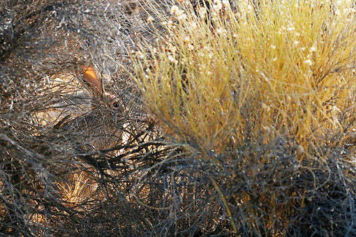 RAB 01 KH0034 01 © Kimball Stock Black-Tailed Jackrabbit Camouflaged In Brush
