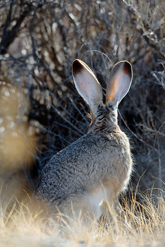 RAB 01 KH0035 01 © Kimball Stock Back View Of Black-Tailed Jackrabbit Sitting In Brush