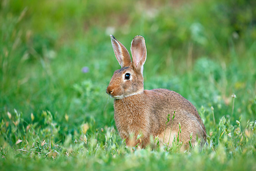 RAB 01 KH0038 01 © Kimball Stock Domestic Rabbit Sitting In Field France