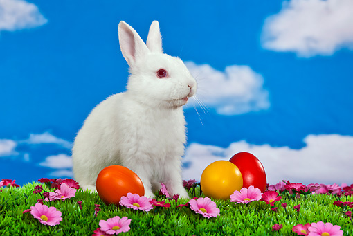 RAB 01 KH0040 01 © Kimball Stock White Rabbit Sitting Next To Easter Eggs On Grass