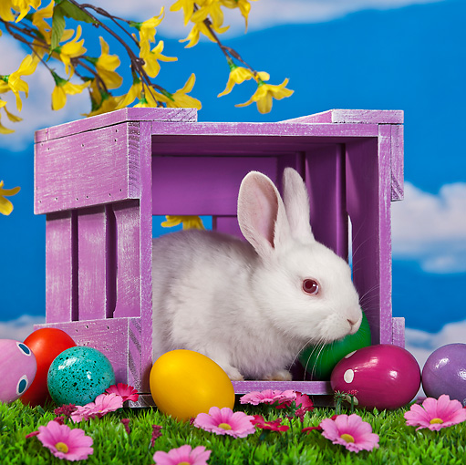 RAB 01 KH0043 01 © Kimball Stock White Rabbit Sitting In Purple Crate By Easter Eggs