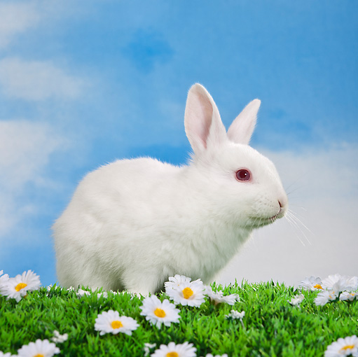 RAB 01 KH0048 01 © Kimball Stock White Rabbit Sitting On Grass By White Flowers