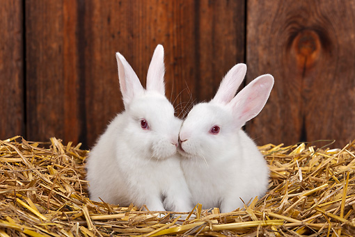 RAB 01 KH0052 01 © Kimball Stock Two White Rabbits Sitting In Straw In Rabbit Hutch Kissing