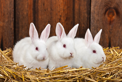RAB 01 KH0053 01 © Kimball Stock Three White Rabbits Sitting In Straw In Rabbit Hutch