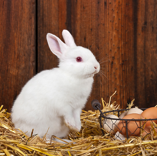RAB 01 KH0054 01 © Kimball Stock White Rabbit Sitting Upright In Straw By Basket Of Eggs