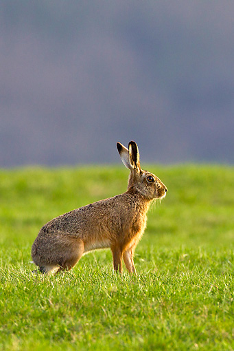 RAB 01 KH0056 01 © Kimball Stock European Hare Hopping Through Spring Meadow Alsace, France